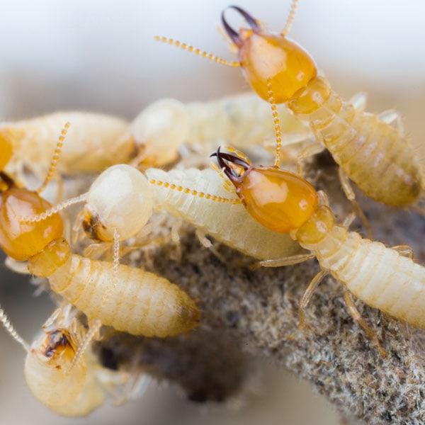 termite treatment in brisbane